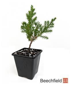 San Jose Juniper Starter Bonsai Beechfield Bonsai