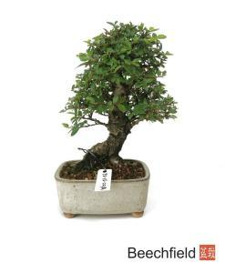 Shohin Cork Bark Elm Beechfield Bonsai