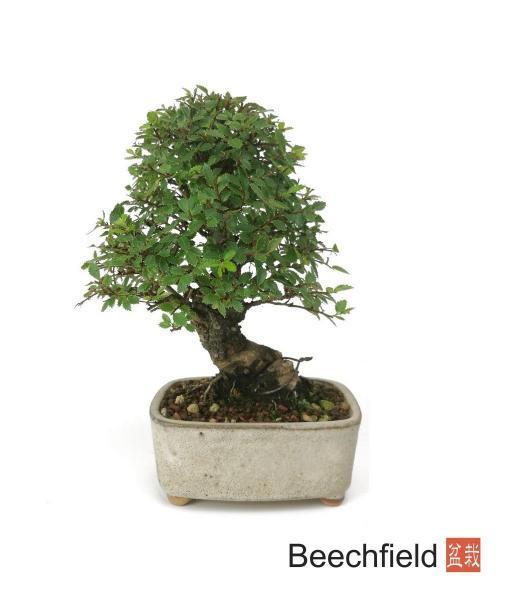 Shohin Cork Bark Elm Beechfield Bonsai