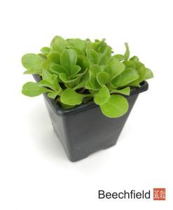 Gypsophila Cerastioides Kusamono Bonsai Accent Alpine Plant Beechfield Bonsai