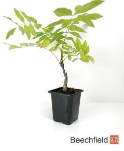 Wisteria Starter Bonsai Tree Beechfield Bonsai