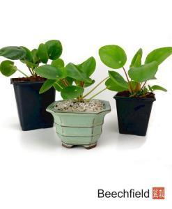 Chinese Money Plant - Pilea Peperomioides Beechfield Bonsai