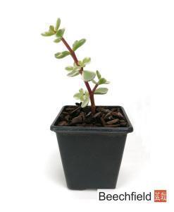 Portulacaria Afra Variegata Bonsai Tree Plant Beechfield Bonsai 7cm