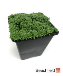Saxifraga Paniculata var. Minutifolia Kusamono Bonsai Accent Plant Alpine Beechfield Bonsai