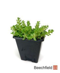Sedum Acre Bonsai Accent Plant Beechfield Bonsai-7cm