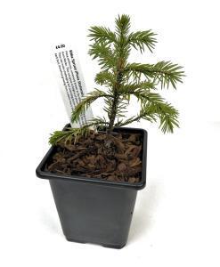 Sitka Spruce Picea Sitchensis Starter Bonsai Tree Beechfield Bonsai