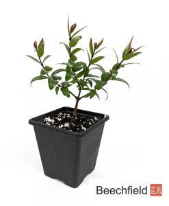 Myrtle Myrtus Communis Starter Bonsai Tree Beechfield Bonsai